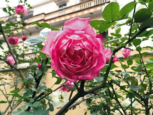 Hướng dẫn cách nhận biết hoa hồng cổ