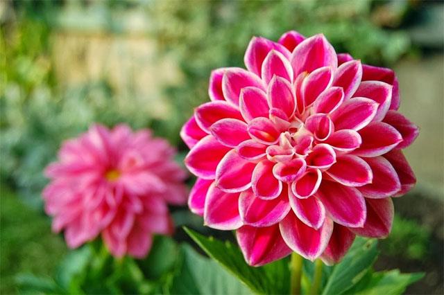 Các loại hoa trồng bằng củ phổ biến nhất - 2