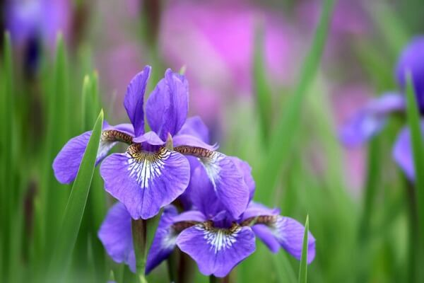 Các loại hoa trồng bằng củ, bạn nên thử ngay