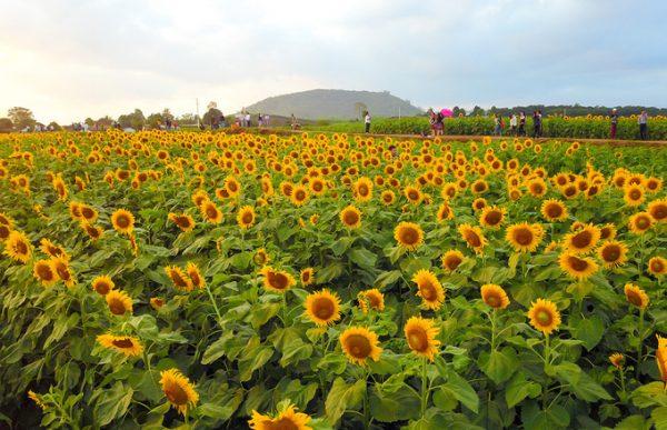 Cánh đồng hoa hướng dương ở Việt Nam đẹp nhất ở đâu?