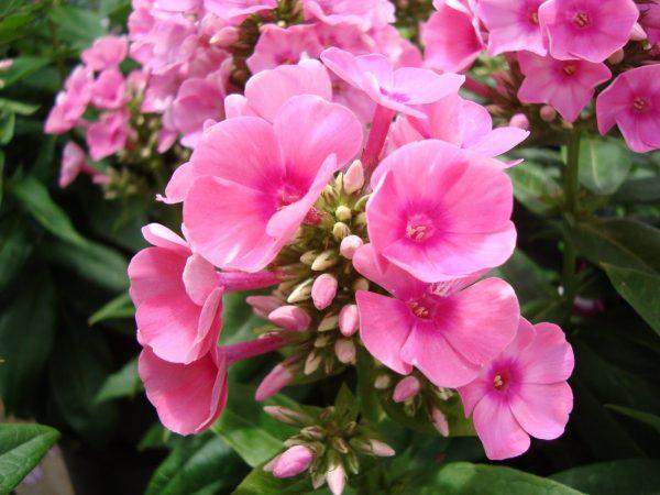 Những loại cây không nên trồng trong nhà kẻo rước bệnh