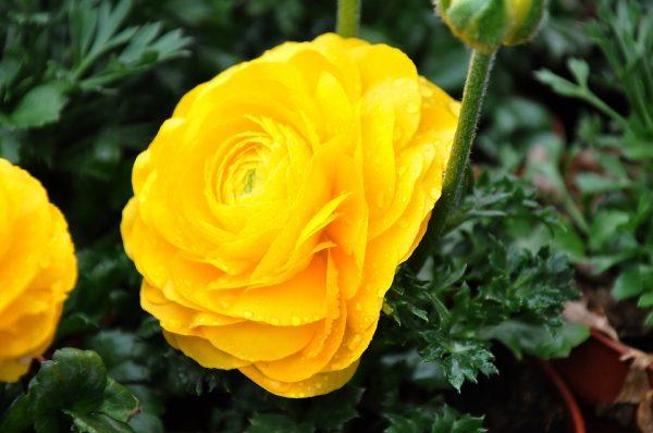 Hoa mao lương vàng có độc không?