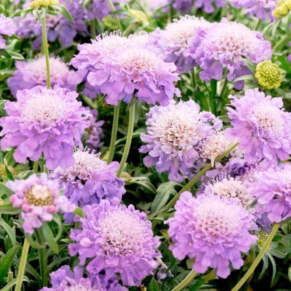 Ý nghĩa của hoa tai thỏ - loài hoa tượng trưng cho tình yêu buồn