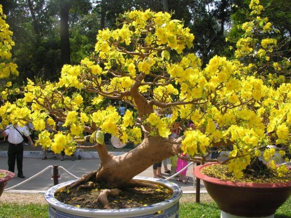 Cách chăm sóc cây mai vàng nở hoa đẹp ngày Tết