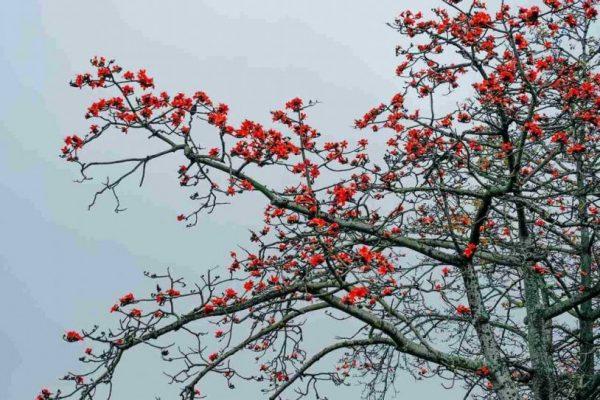 Ý nghĩa hoa pơ lăng rực rỡ gọi hè về
