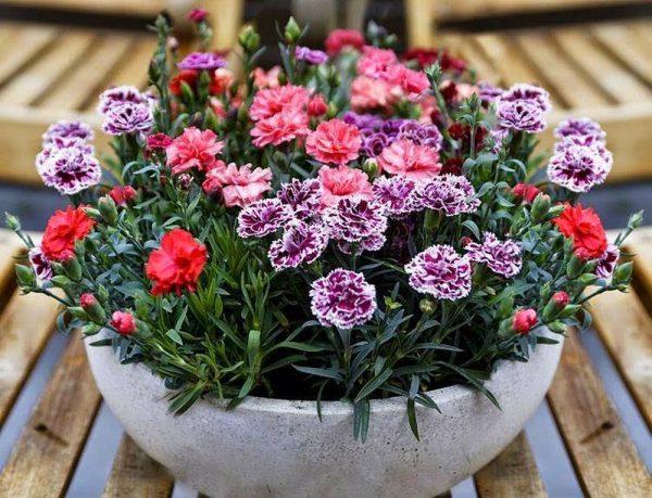 Đặc điểm và cách chăm sóc hoa cẩm chướng