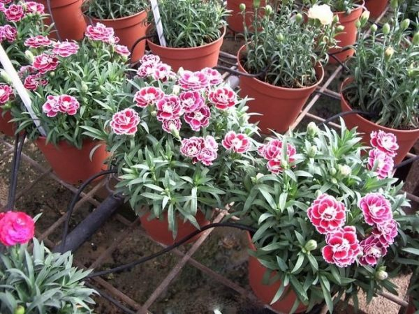 Cách trồng hoa cẩm chướng ra hoa đẹp như ý