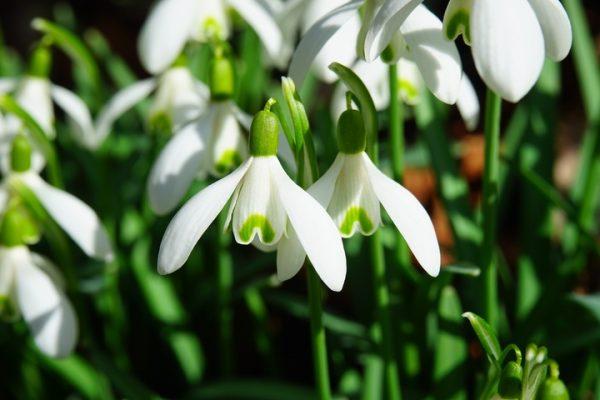Ý nghĩa của hoa giọt tuyết – loài hoa của sự an ủi