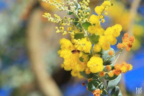 Ý nghĩa của hoa mimosa – loài hoa dễ thương và yên bình
