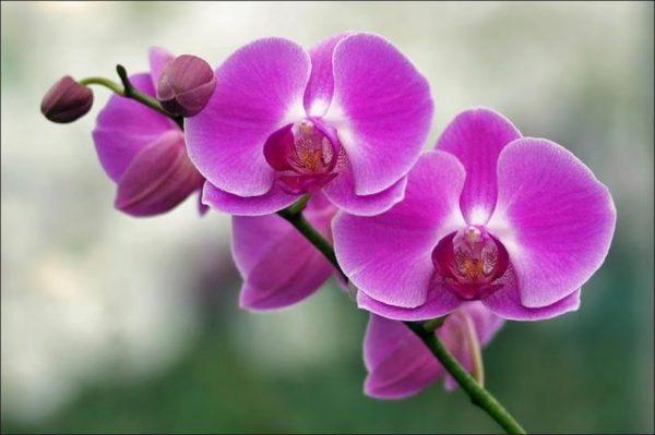Ý nghĩa của hoa phong lan trong cuộc sống