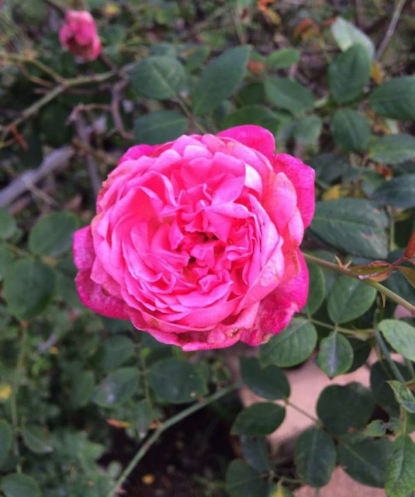 Điểm danh các loại hoa hồng lâu tàn nhất