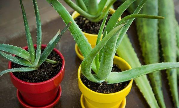 Nên trồng cây gì trong phòng ngủ?