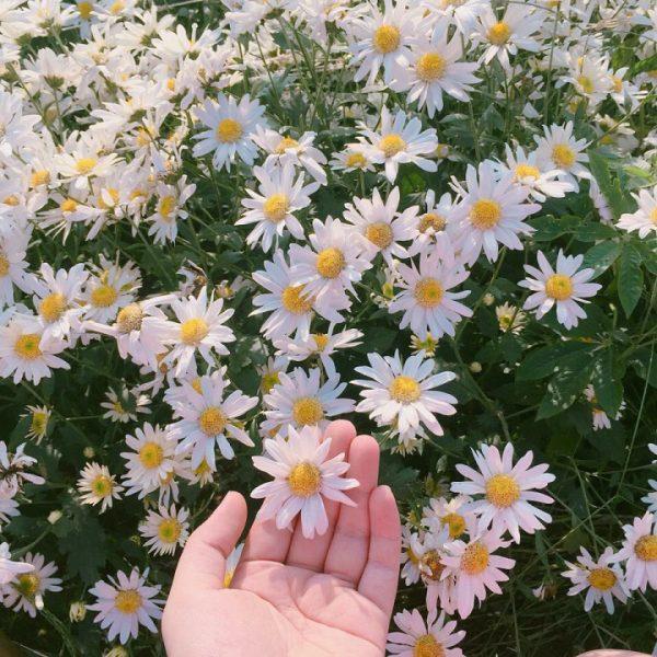 Phân biệt thạch thảo và cúc hoạ mi