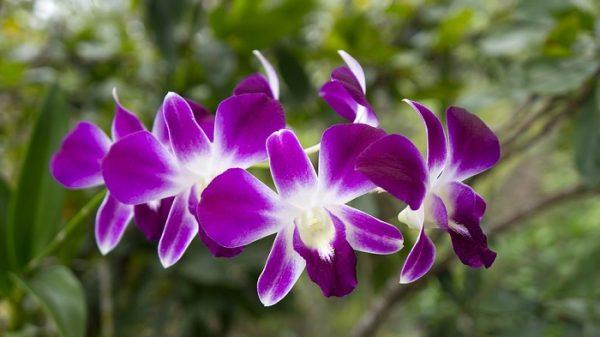 Hoa phong lan tím ở nước nào?